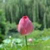 Lotosy, Pekin
