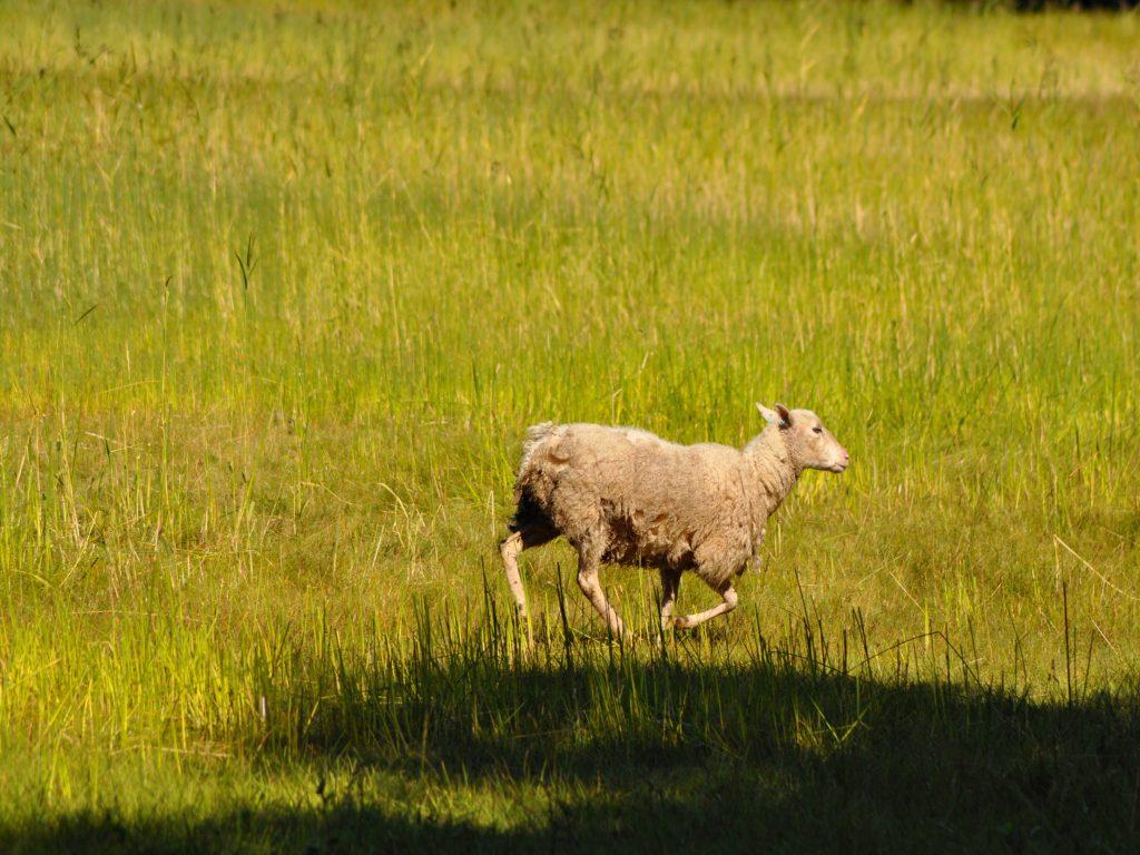 Owieczka na Wyspach Alandzkich