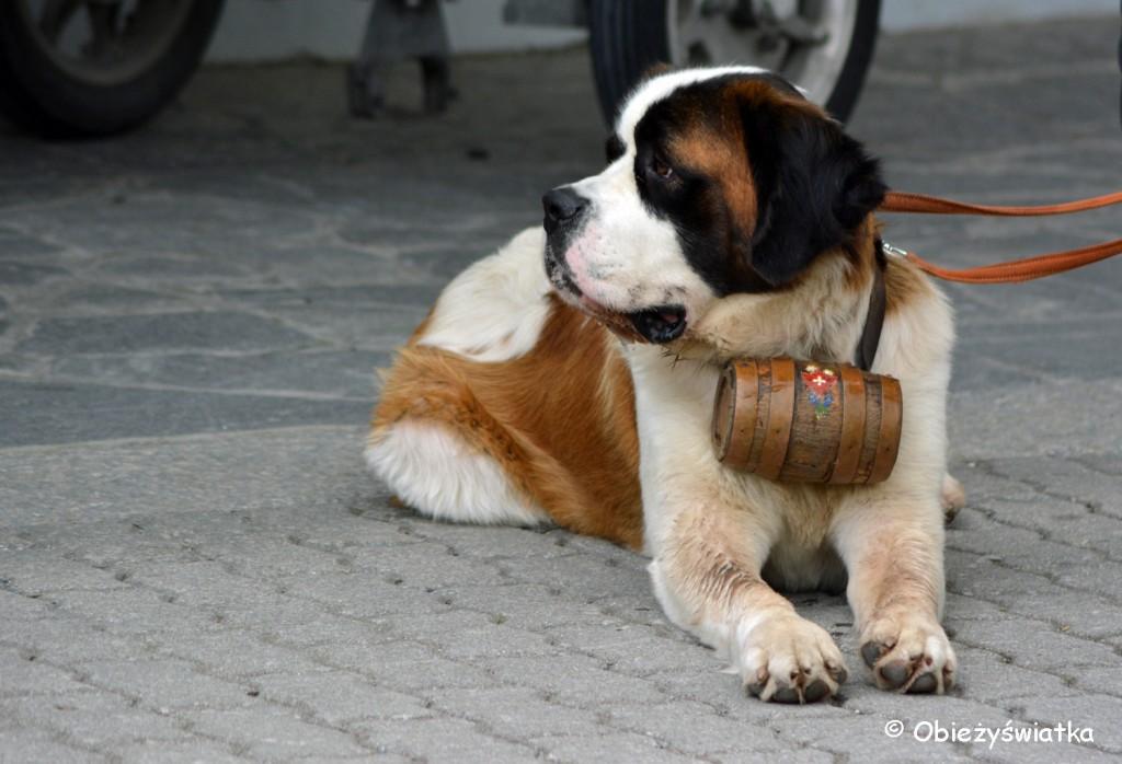 Bernardyn z beczułeczką na szlaku zabraknąć nie mogło ;)