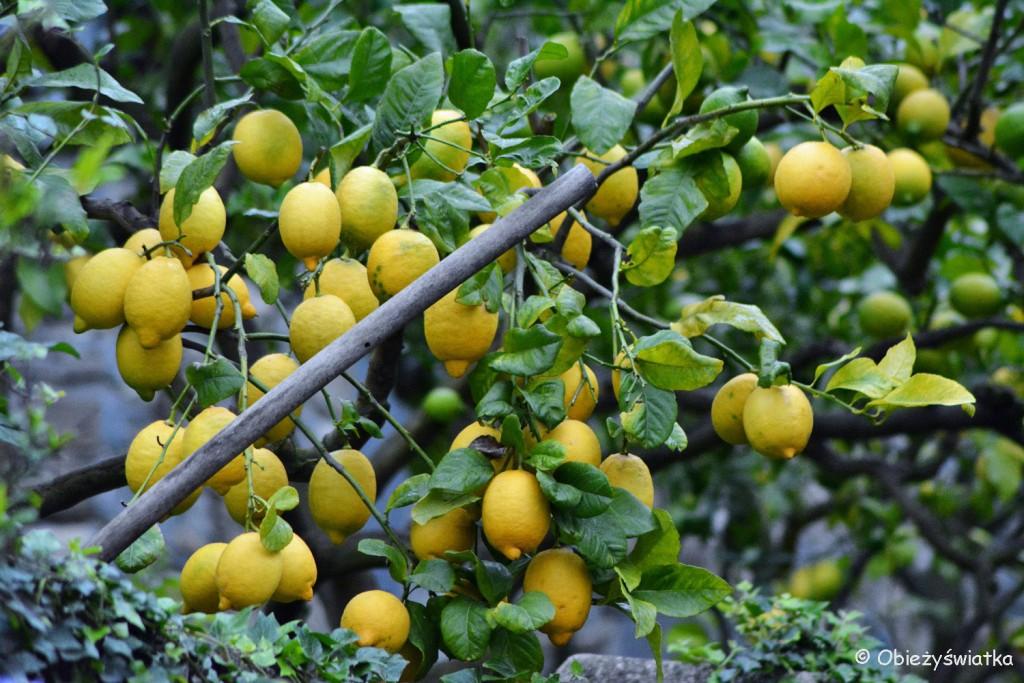 Cytryny prosto z drzewa....Manarola, Cinque Terre