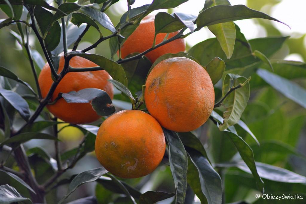 W gaju pomarańczowym, Manarola, Cinque Terre