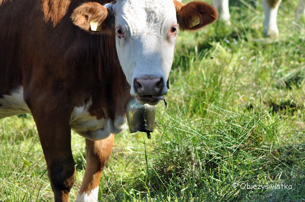 Alpejska krowa z dzwonkiem