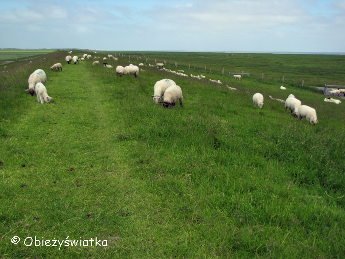 Owce na wałach
