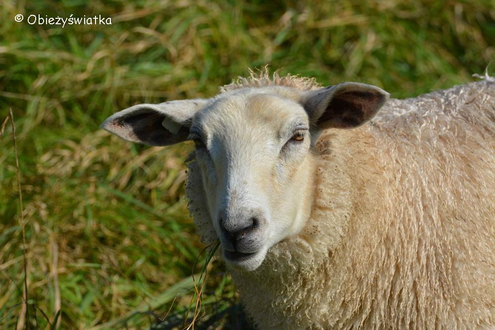 Owce nad Morzem Wattowym