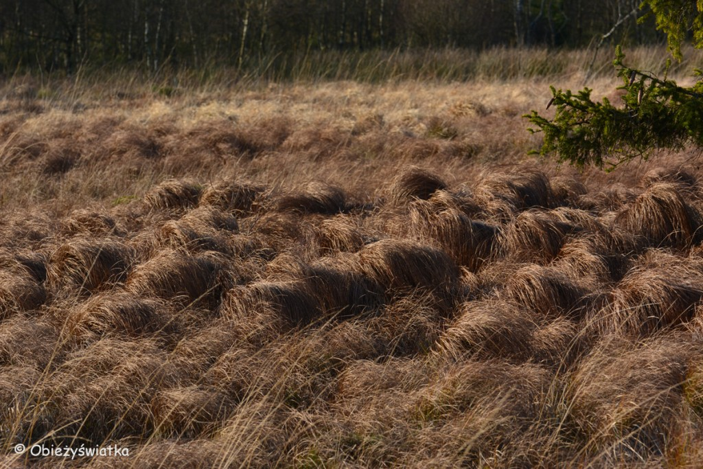 Miękko, mięciutko...., Hautes Fagnes/Hohes Venn - belgijski park krajobrazowy
