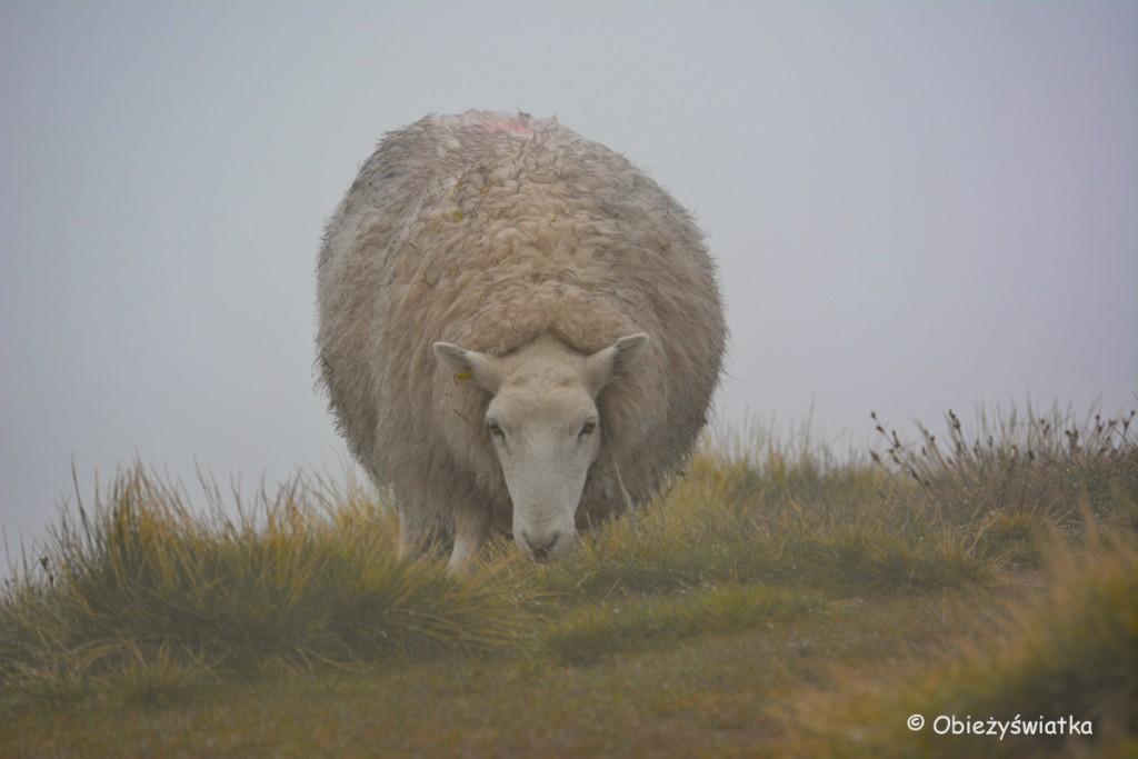 Owieczki w Brecon Beacons, Walia