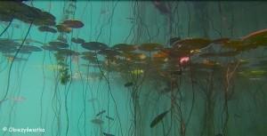 Pod wodą - Lilie wodne na Jeziorze Bled, Słowenia