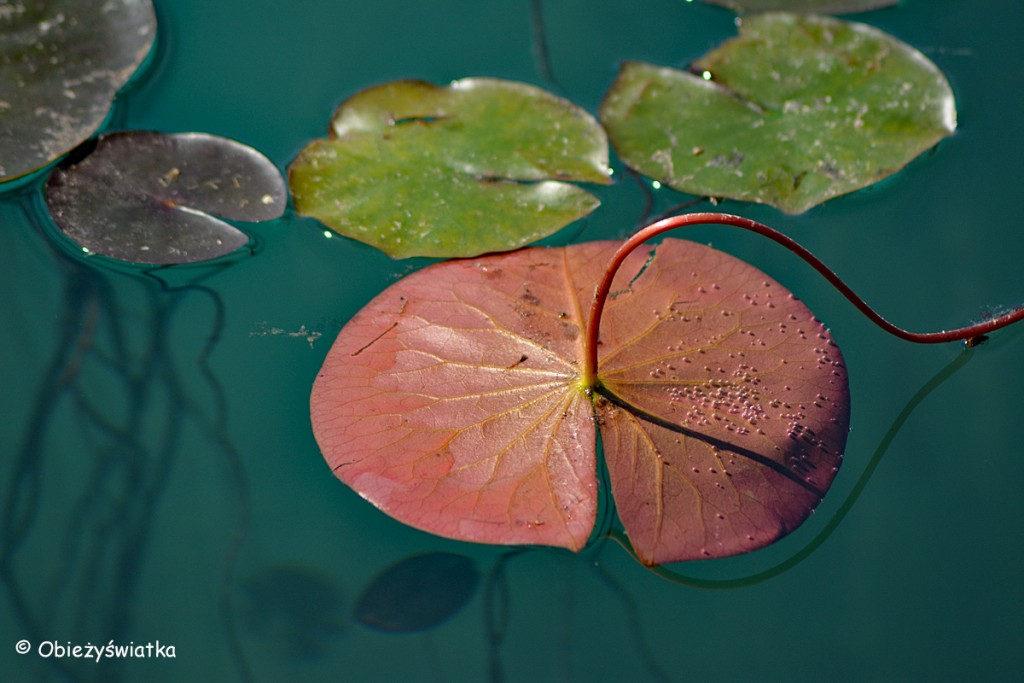 Lilie wodne na Jeziorze Bled, Słowenia