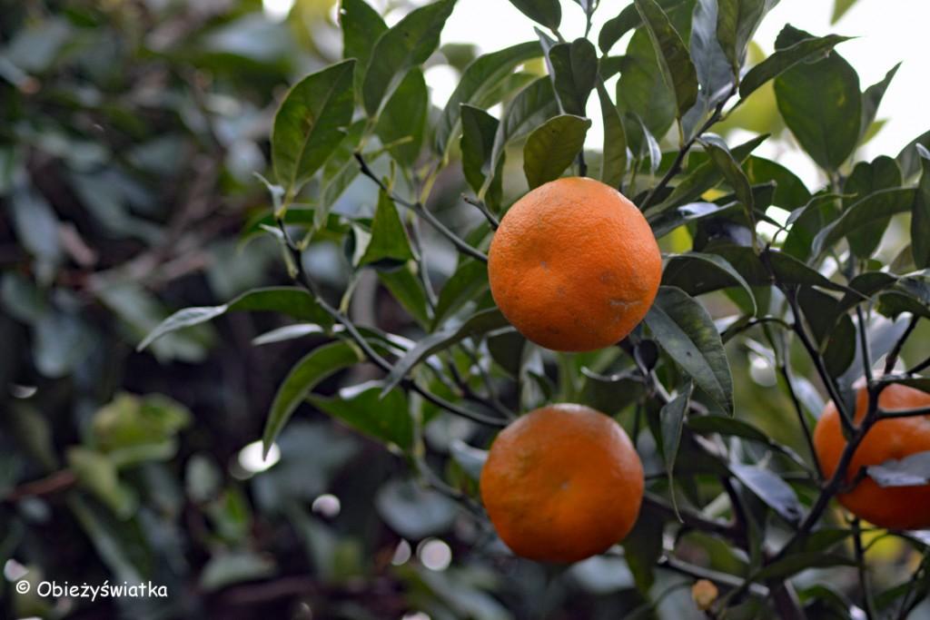 Drzewa pomarańczowe nad Jeziorem Garda