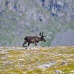 Renifery spotkane w drodze na Knivskjellodden, Norwegia
