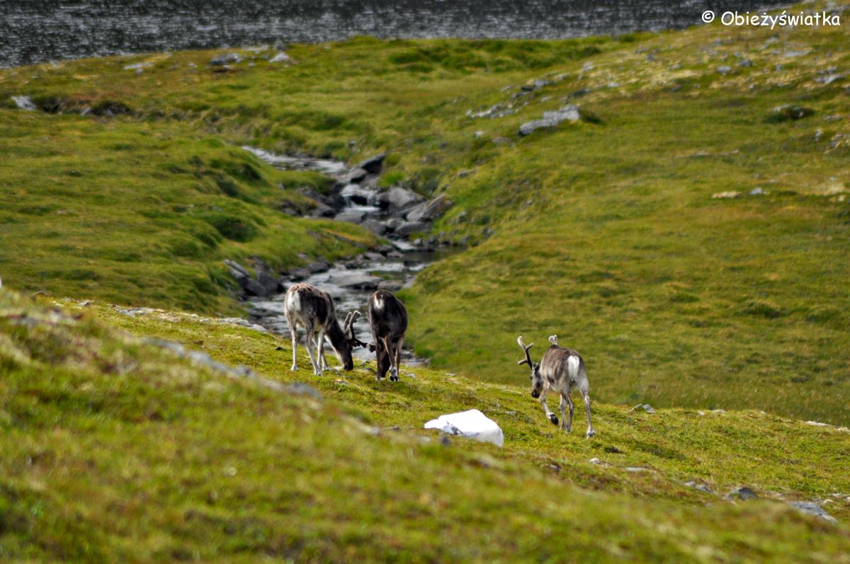Po drodze na Knivskjellodden spotkałam bardzo dużo reniferów...