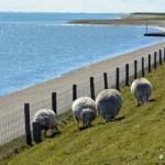 Nie może zabraknąć owiec na Texel