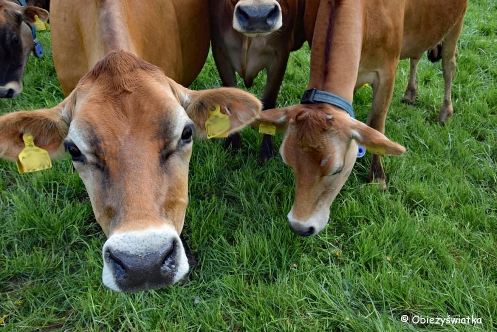 Ciekawskie krowy na szlaku