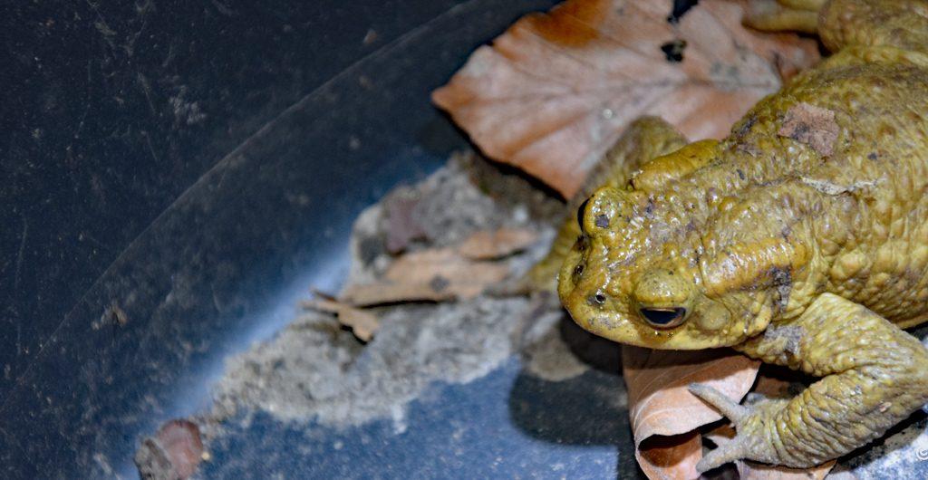 Ratowanie żab wiosną