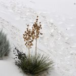 Soaptree Yucca w White Sands National Monument, USA