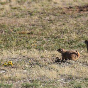 Nieświszczuk / piesek preriowy w okolicach Devils Tower, Wyoming, USA