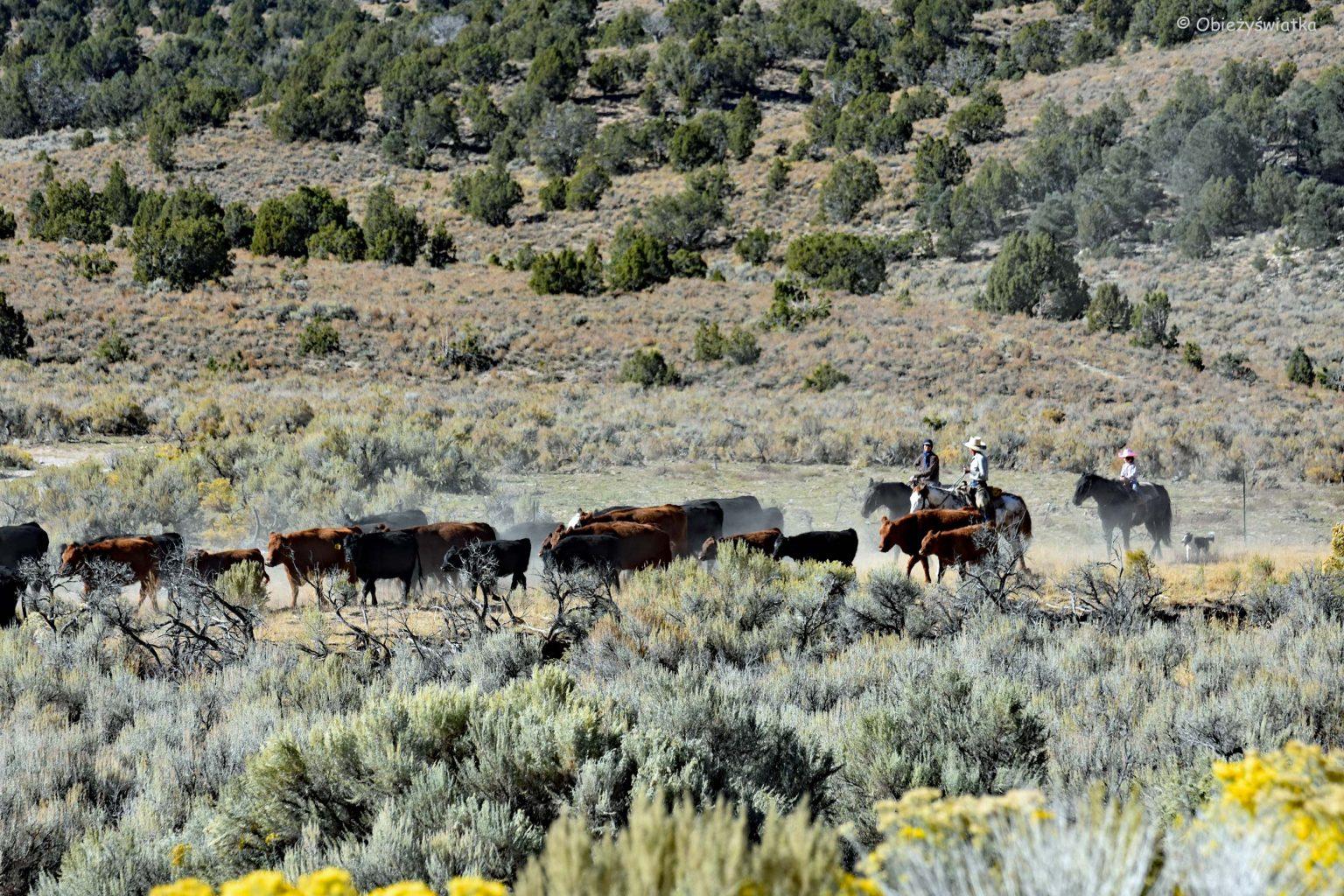 Kowboje w Nevadzie
