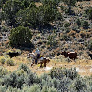 Poganiacze bydła w Nevadzie na Highway 50