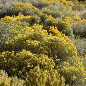 Typowa roślinność w Nevadzie