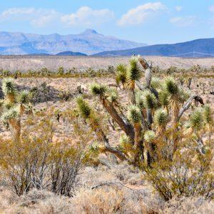 Drzewka Jozuego, trójstyk Nevada-Utah-Arizona