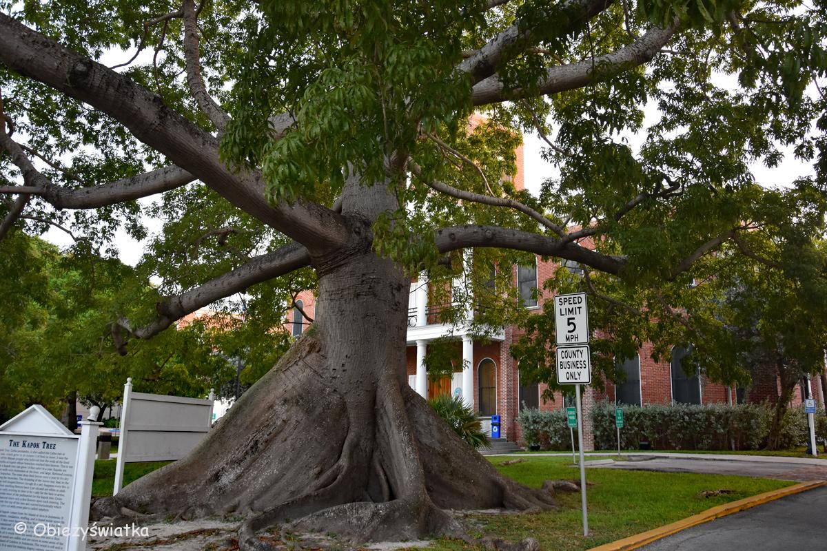 Drzewo kapokowe / Puchowiec pięciopręcikowy