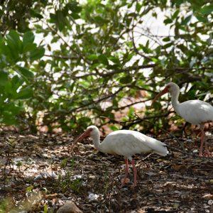 Ibisy białe, Key West