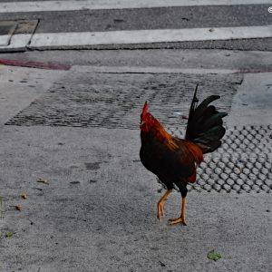 Koguty na ulicach Key West - bardzo częste zjawisko :)