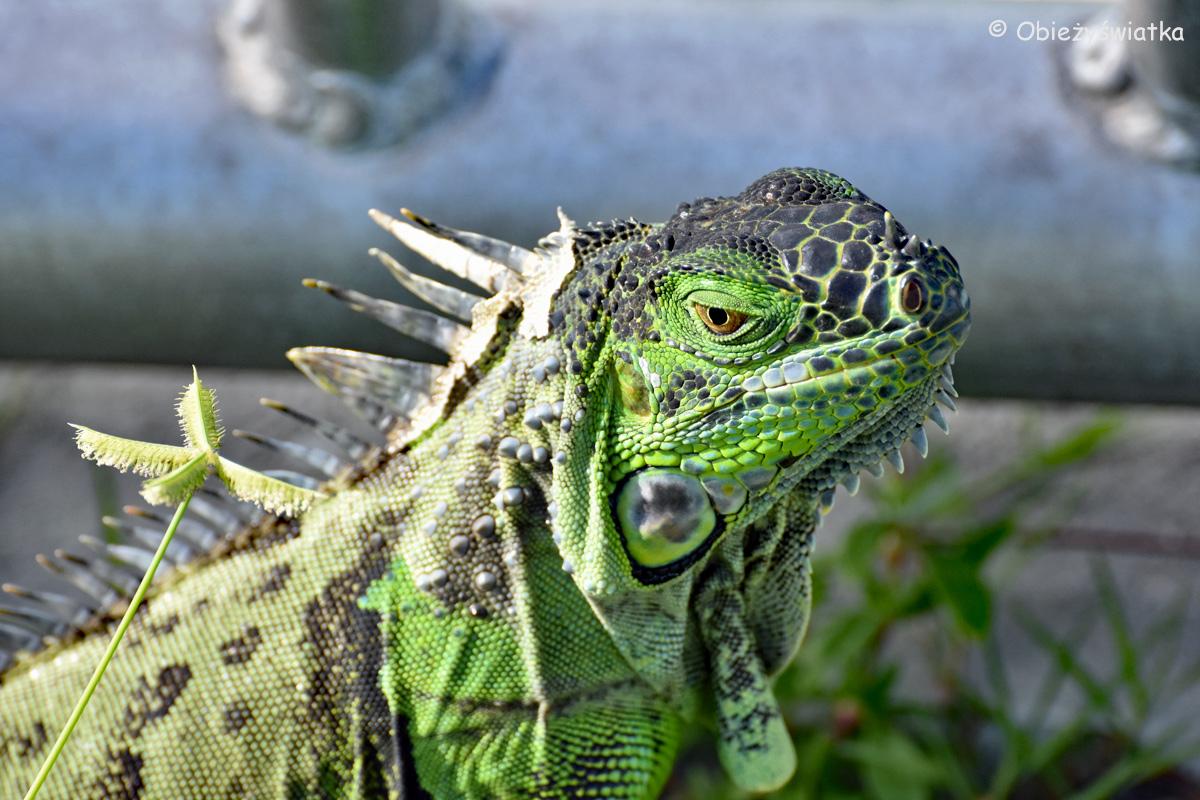 Oko w oko z dzikim legwanem, Key West