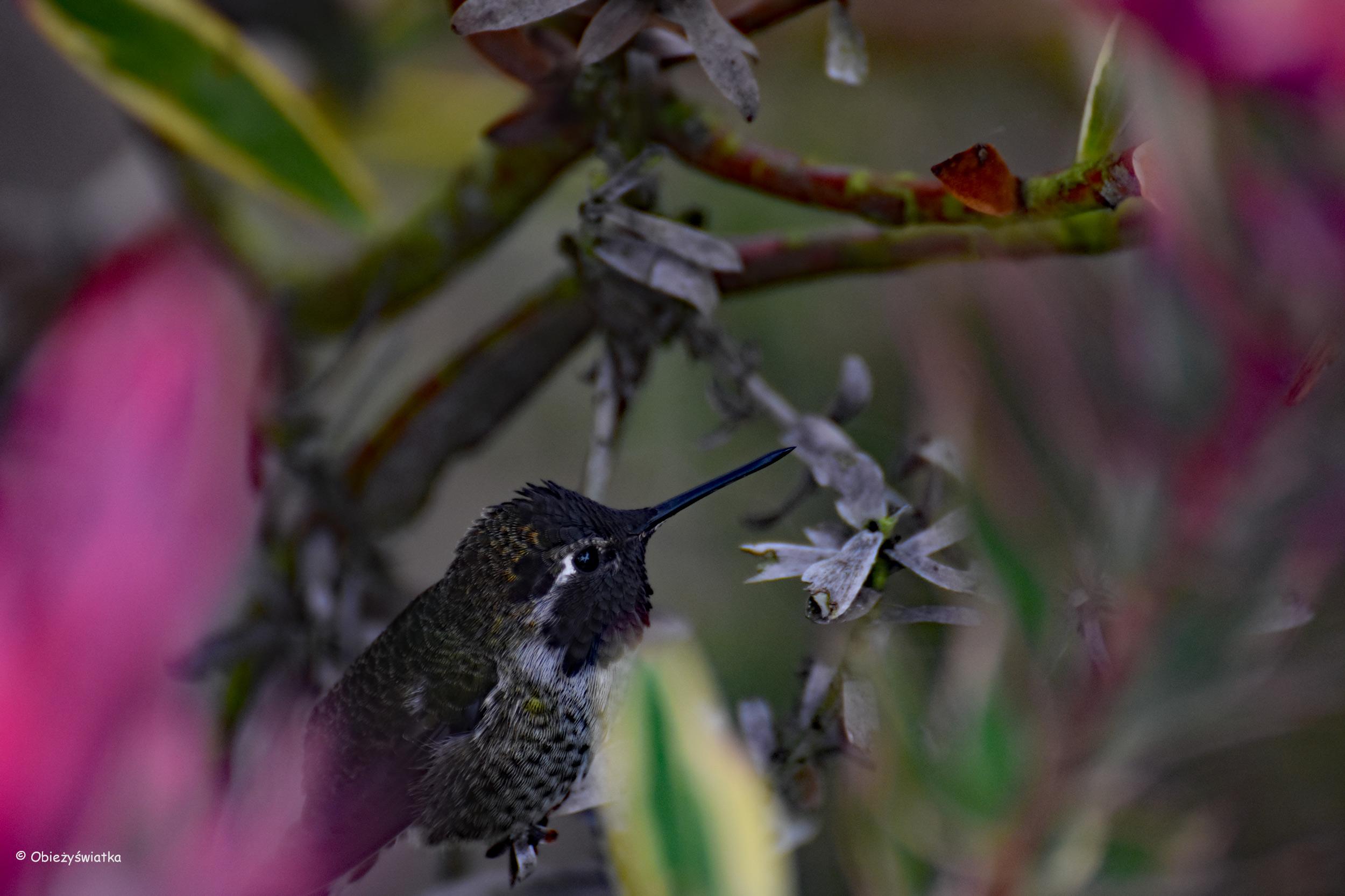 Koliber w San Francisco