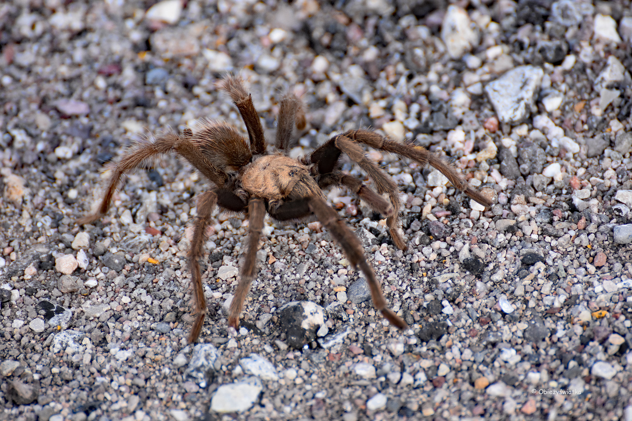 Tarantula, Nevada, USA