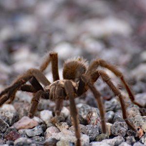 Noga za nogą - Tarantula, Nevada, USA