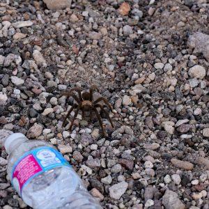 Tarantula vs. butelka