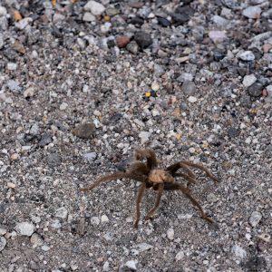 Tarantula/Ptasznik