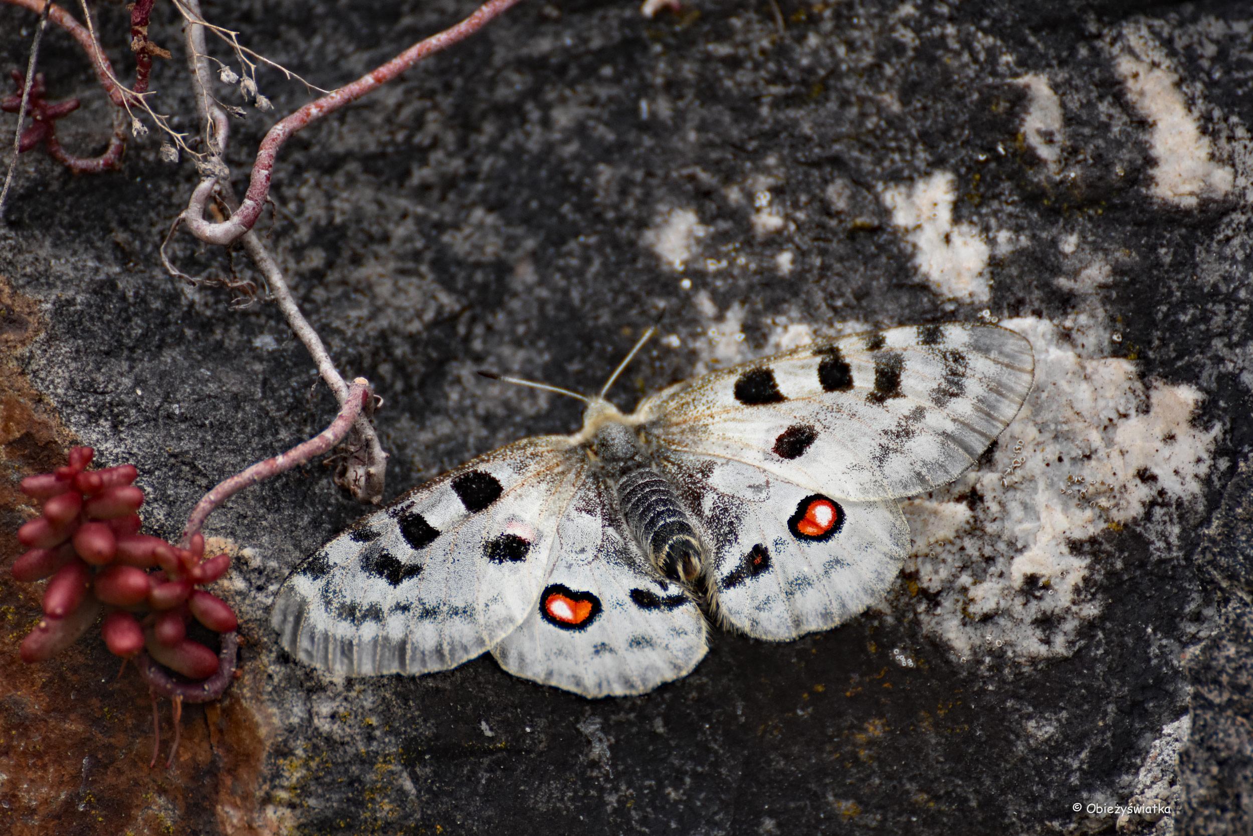 Nad Mozelą jeszcze można spotkać rzadki gatunek motyla - niepylak apollo