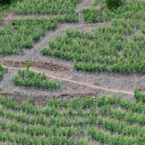Szlak na Calmont przez winnice