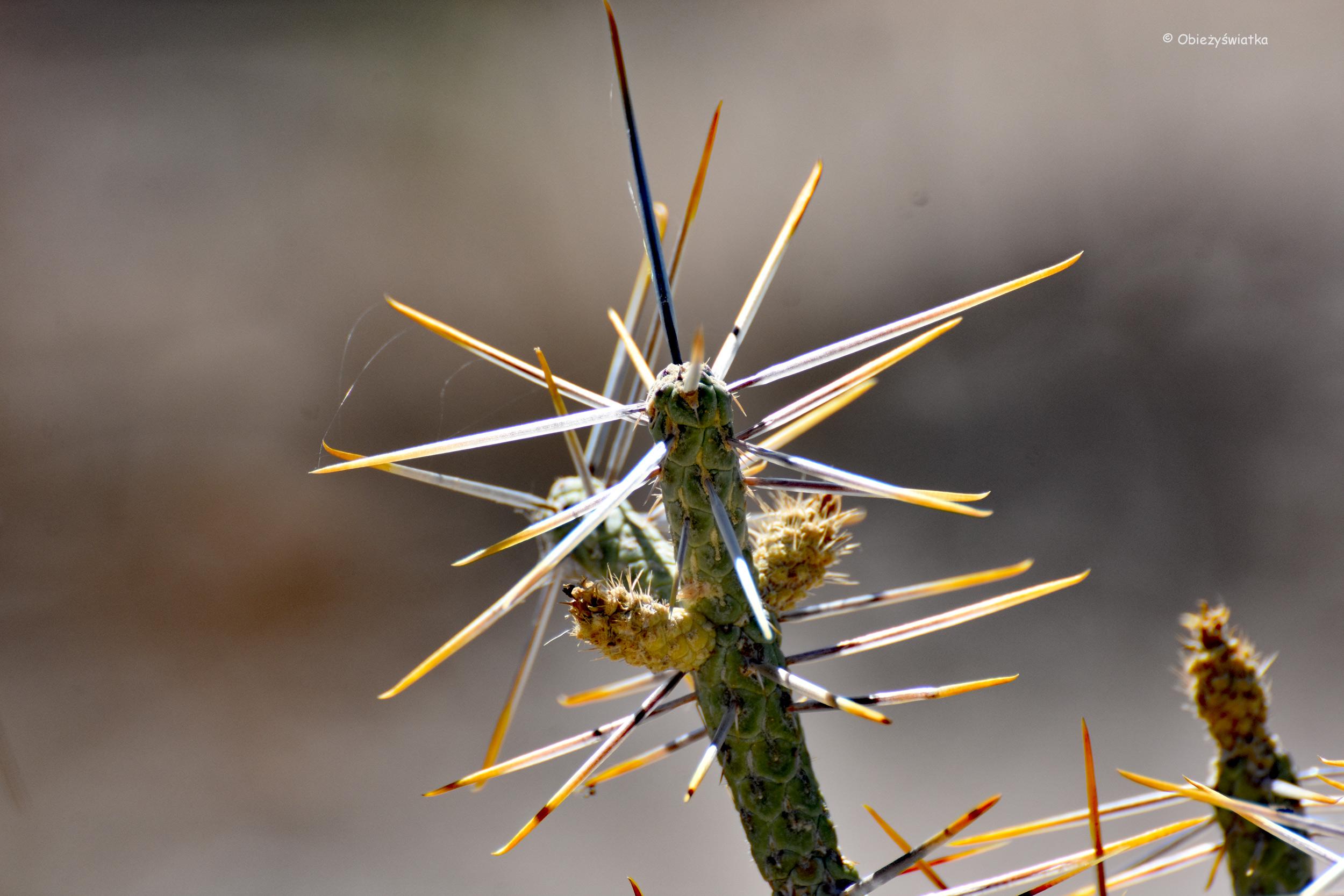 Kaktus, Pustynia Mojave