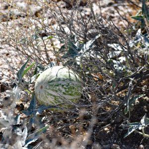 Melony? / Pustynia Mojave
