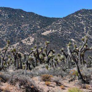 Joshua Tree dookoła / Pustynia Mojave