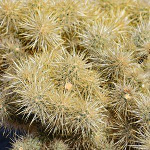 Roślinność na Pustyni Mojave