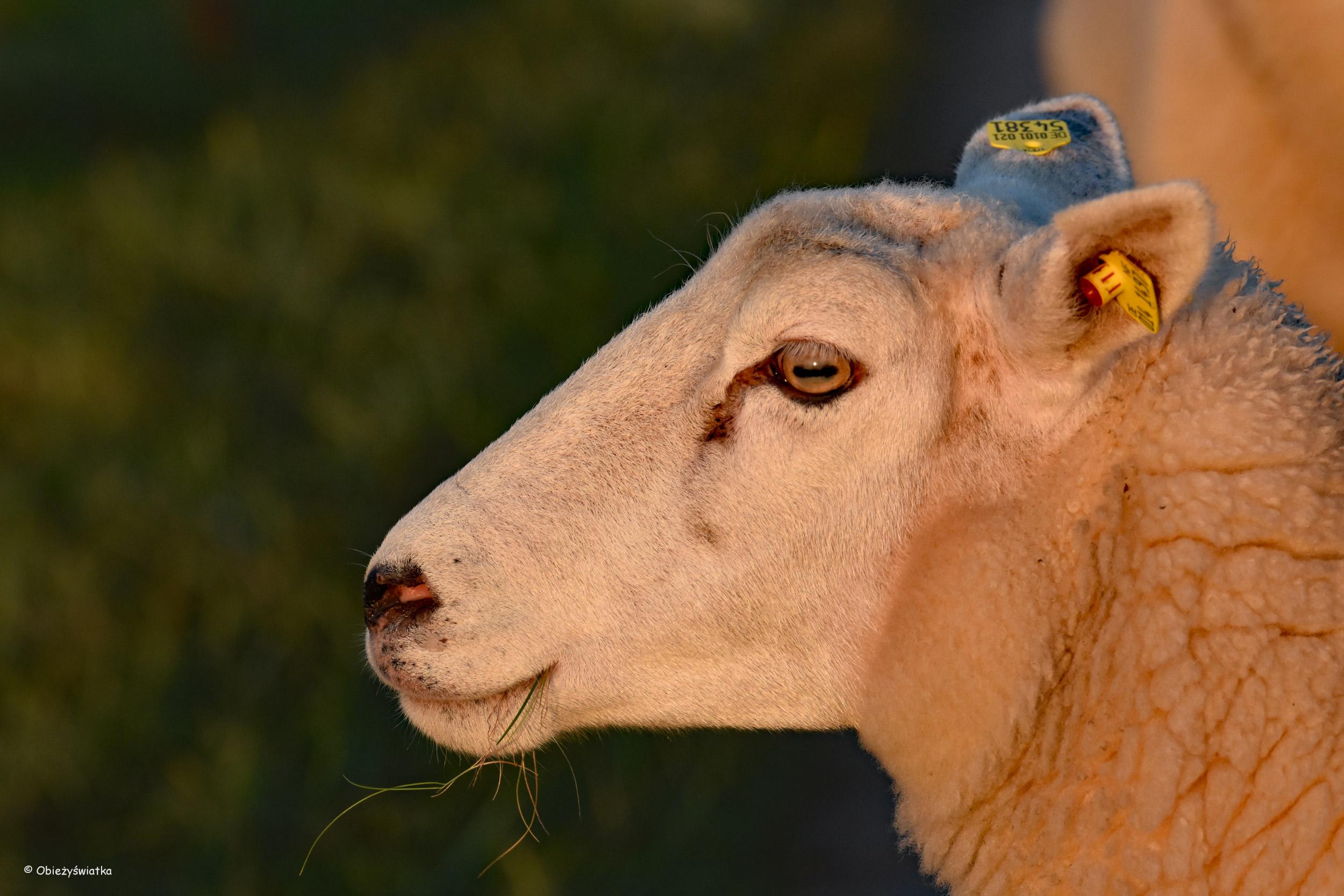Oko w oko z owcą - Hamburger Hallig