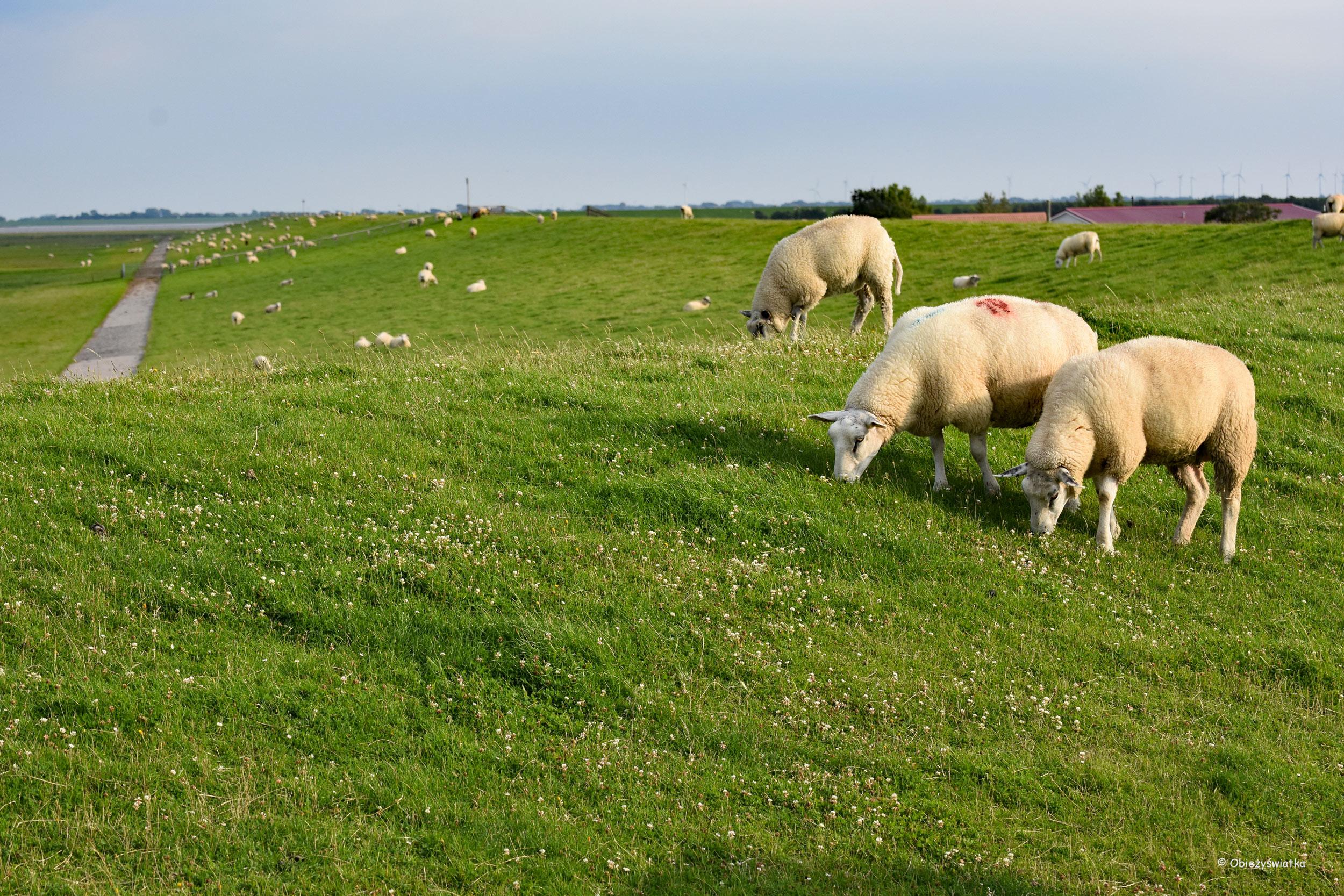 Owce na nadmorskich wałach
