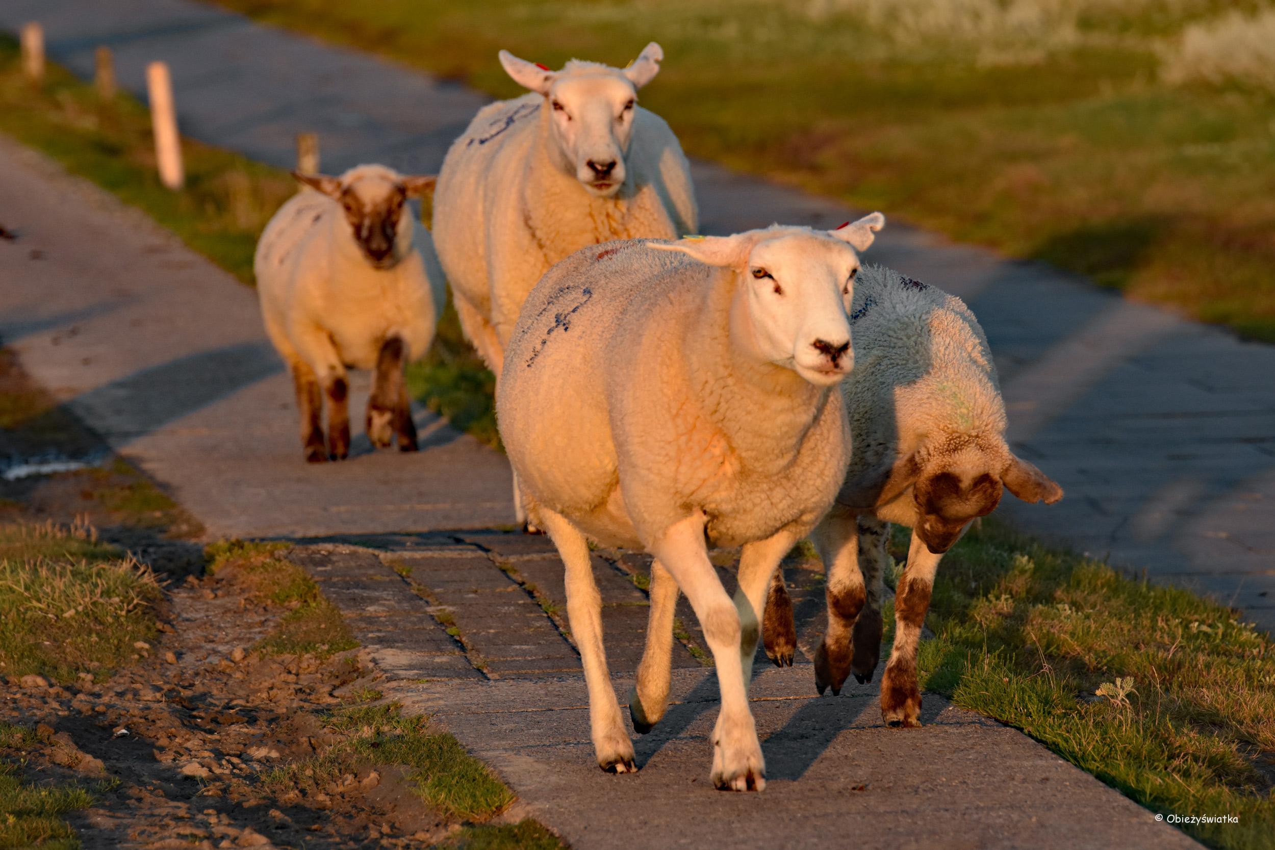Owieczki w ostatnich promykach słońca - Hamburger Hallig
