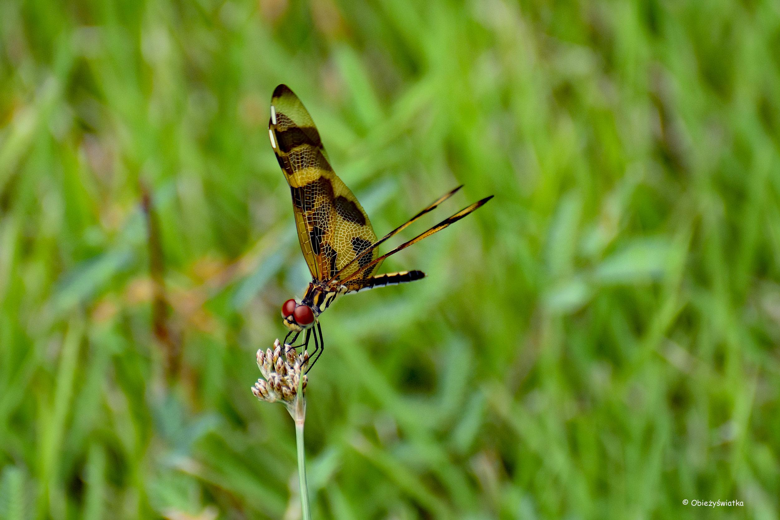 Celithemis eponina - ważka, Everglades, Floryda