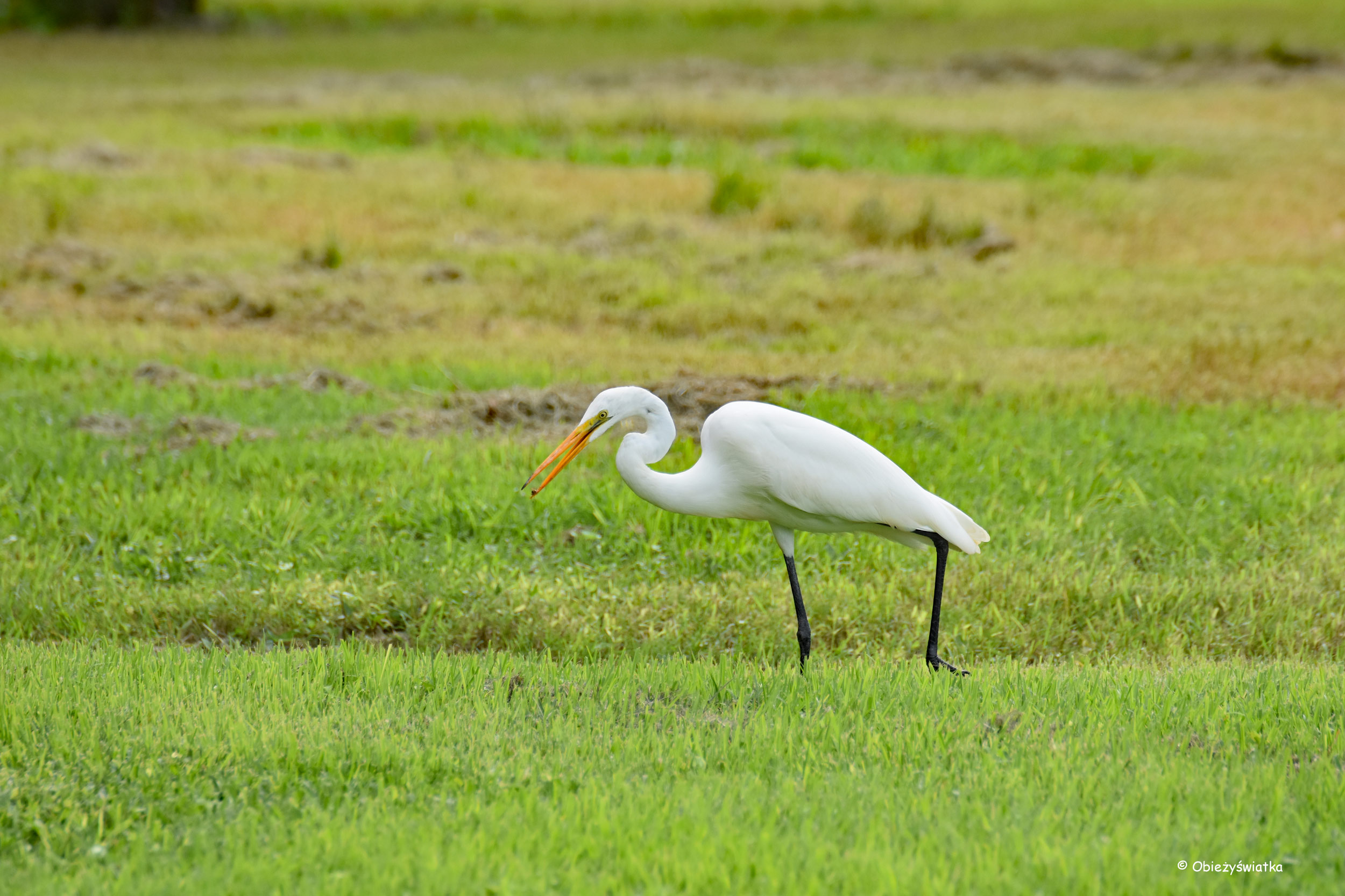 Czapla biała, Everglades, Floryda