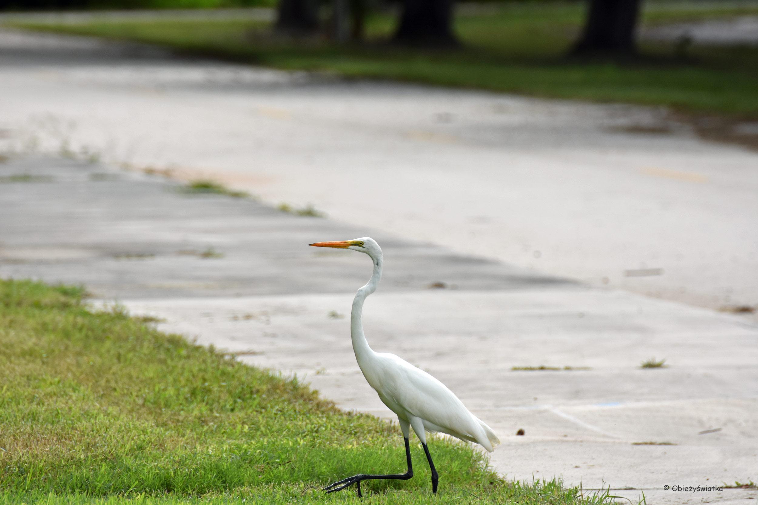 Czapla biała, Park Narodowy Everglades, Floryda