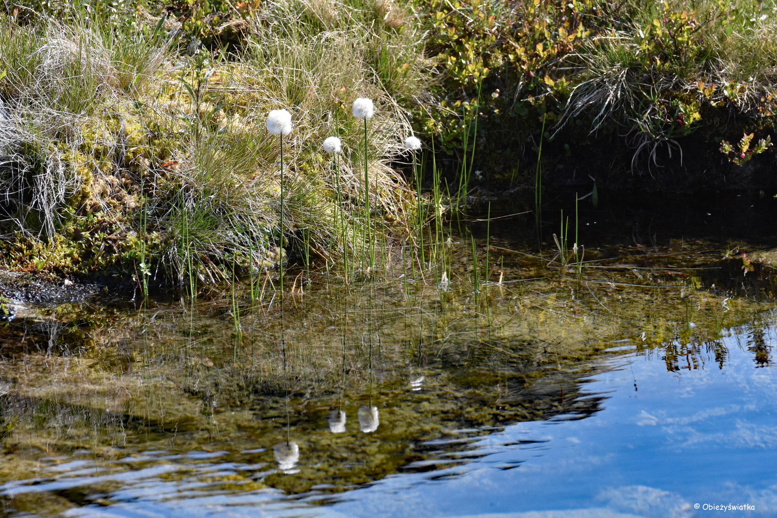 Przeglądające się w wodzie wełnianki - Gamle Strynefjellsvegen, Norwegia