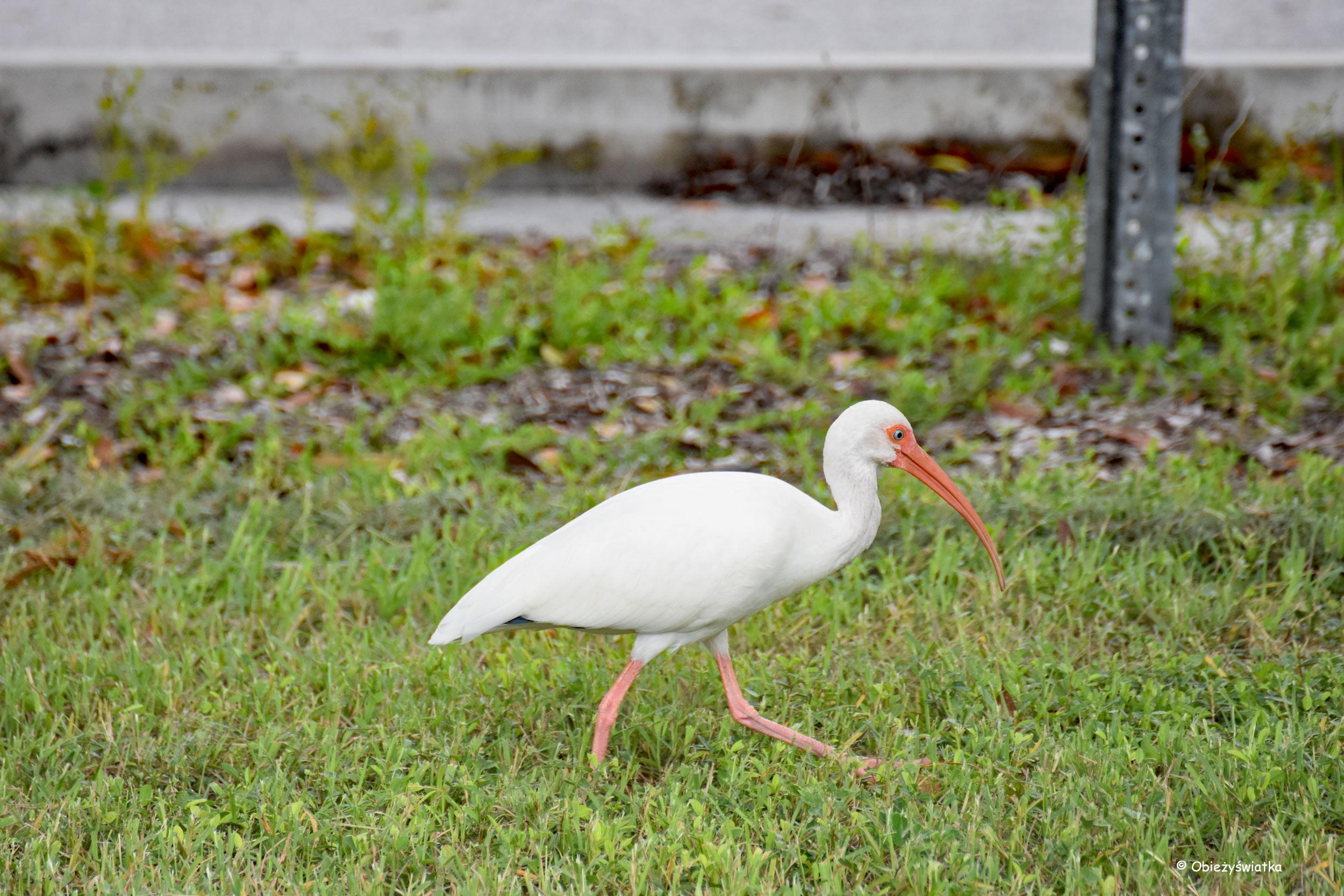 Ibis, Everglades, Floryda