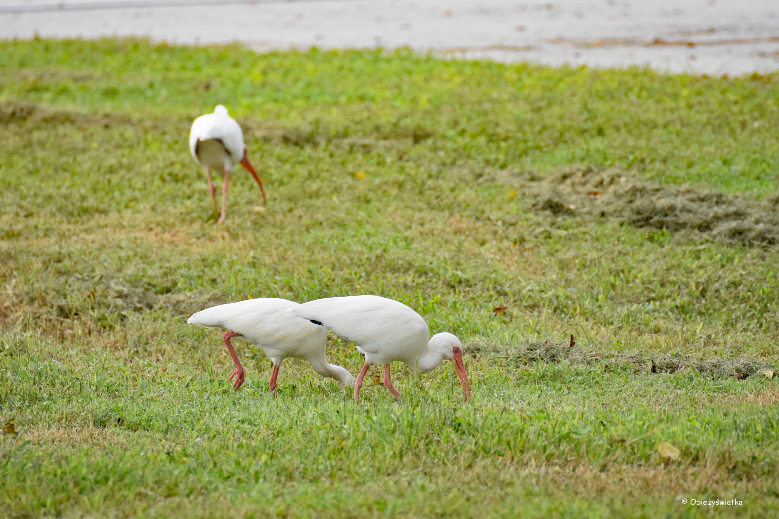 Ibisy, Everglades, Floryda