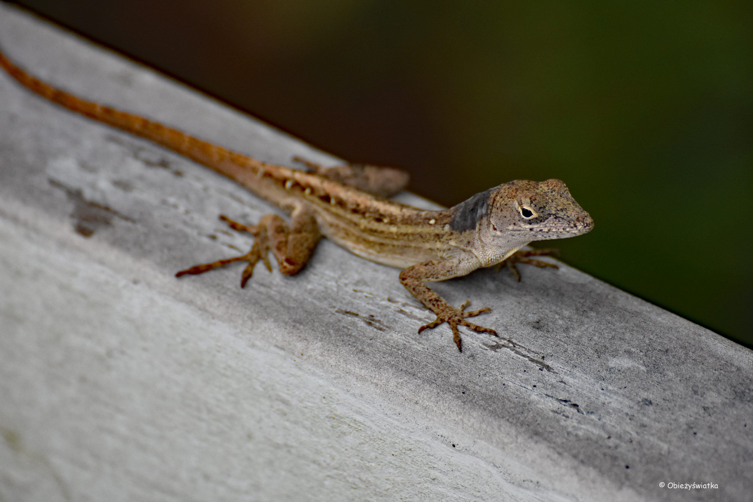 Jaszczurka w bezruchu, Everglades, Floryda