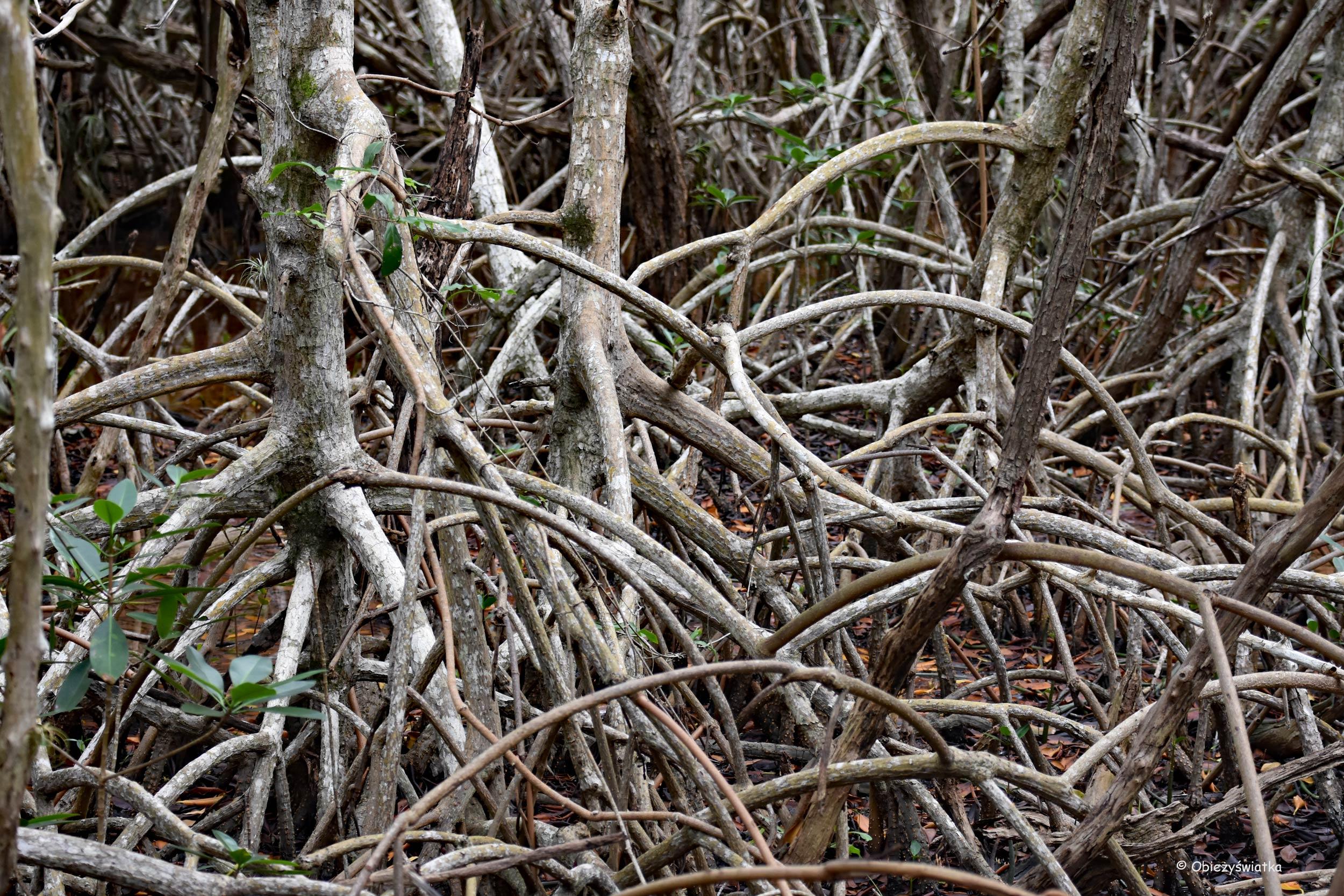 Gąszcz namorzyny, Everglades, Floryda